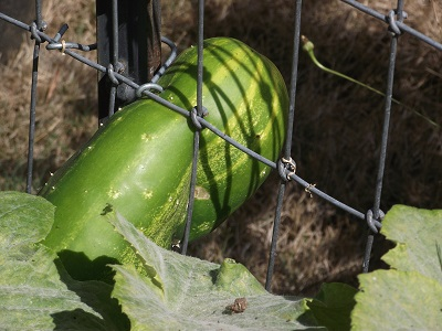 Roseylinn Cucumber Through Fence