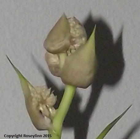 Cornplant1