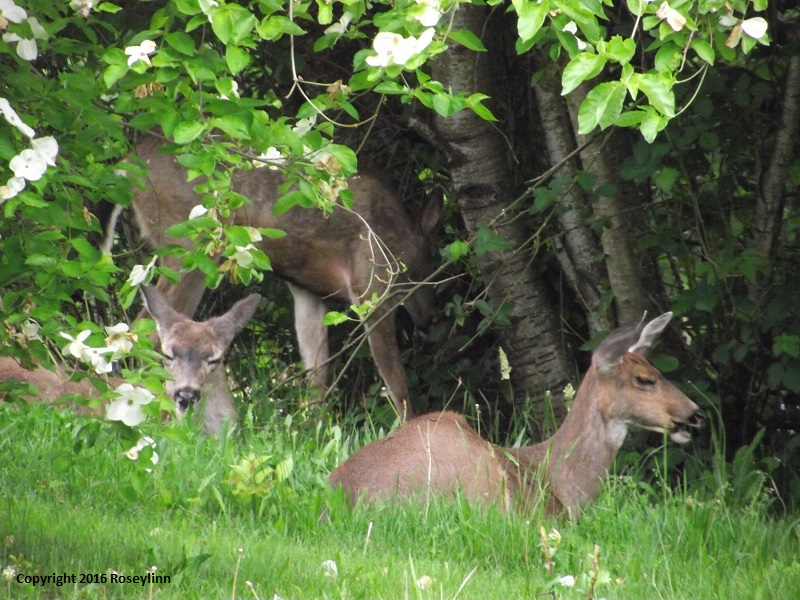 Deer Copyright Roseylinn 2016