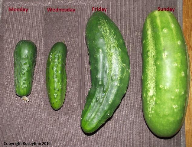 Cucumbersidebyside.jpg