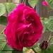 site-logo-roseylinn-double-rose